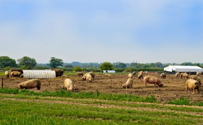 Pig numbers are building up on farms as a result of the abattoir closure.