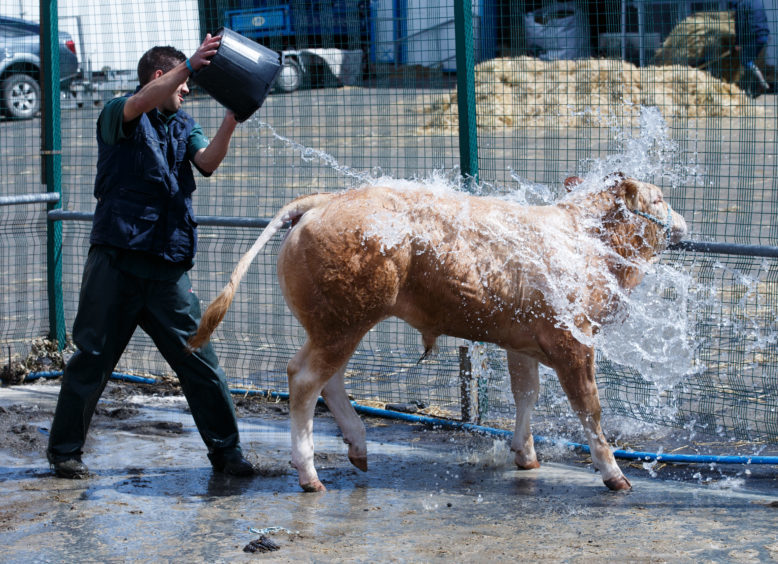 Danny Escolme from Kendal, Cumbria rinses a blonde bull calf for the Royal Highland Show on June 21.
