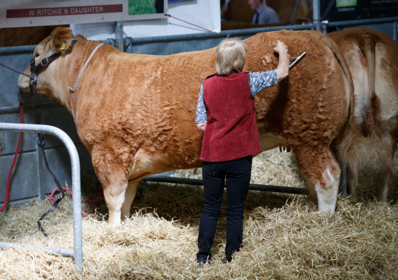 Cattle being prepared for the Royal Highland Show.