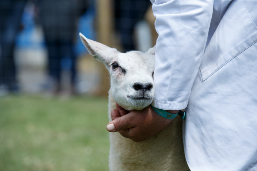 Sheep on show for the judges at the Royal Highland Show on June 21.