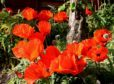 Oriental poppies in June