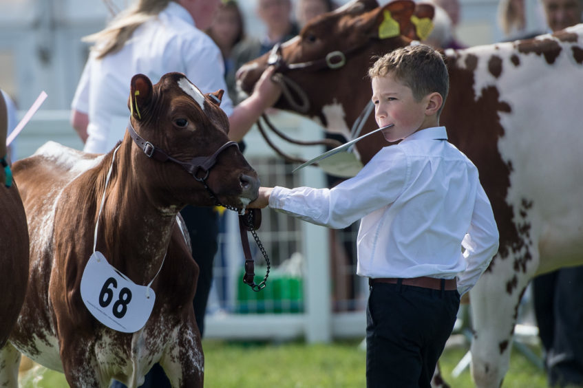Ruaridh Lawson showing his maiden heifer from Lismulligan Dairy Shorthorns, from Leven, Fife, where he was placed second.