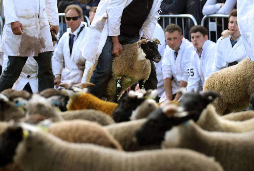 Blackface sheep during judging.