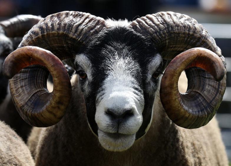A Blackface ram.