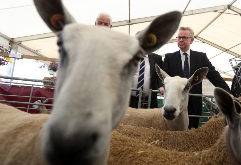 Environment Secretary Michael Gove views sheep at the the Royal Highland Show.