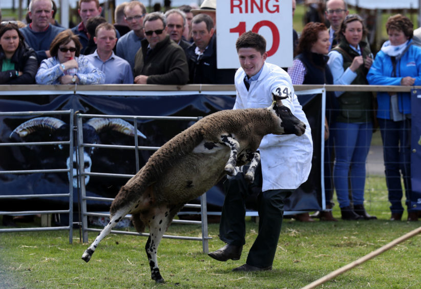 Ben Wight trys to catch his Blackface sheep during judging at the the Royal Highland Show being held at Ingliston in Edinburgh.