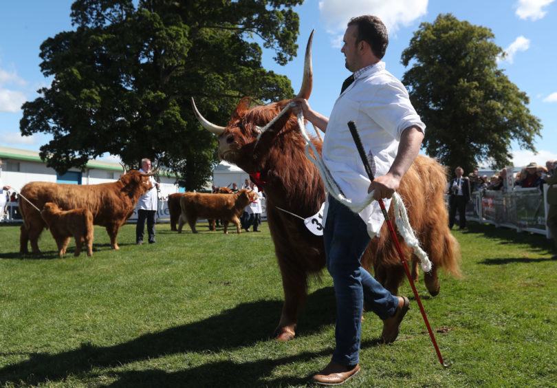 Highland cow Hayley 1st of Rannoch is paraded in the ring during judging.