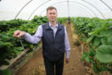 Tim Stockwell, of Barnsmuir Farm, is struggling with labour shortages for fruit-picking. He's been over to Bulgaria to drum up recruits, but still faces a 10% shortfall.  Picture shows Tim Stockwell in one of the polytunnels where his strawberries are grown.
