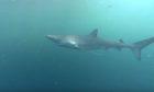 An image of a blue shark.