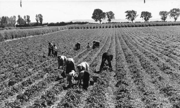 Carse of Gowrie fruit farming in 1955.