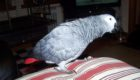 Zoushka the parrot has been missing for a fortnight