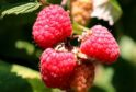 Raspberry Glen Dee