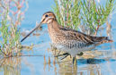 common snipe russia