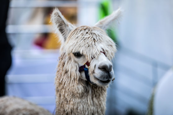 The llamas proved very popular at this year's festival.