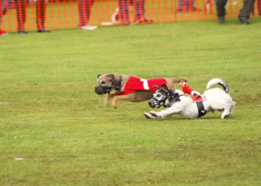 Fife-based ORE Country Terriers in action.