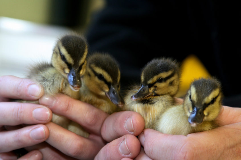 Four unusual ducklings needed to be care for by the Scottish SPCA in Fife. It is rare for ducklings to be born in autumn or winter, but a brood of mallards hatched late into October in Perth.