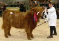 Logan Ross (13) showing Gordon McConachie's Highland cattle champion at Oban.