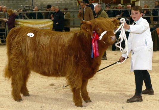 Logan Ross (13) showing Gordon McConachie's Highland cattle champion at Oban.