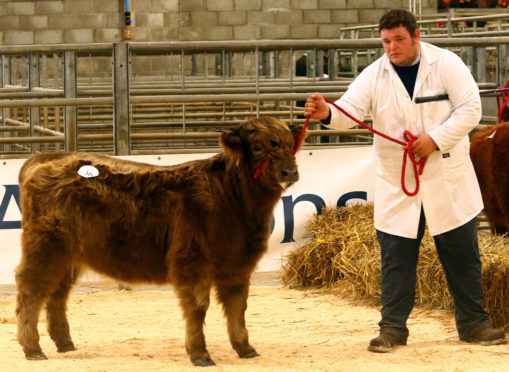 The record price calf, Sonasag 2nd of Cladich, with stockman Stuart Campbell,