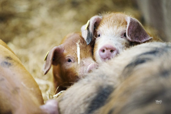 Pigs, horses, alpacas, goats and sheep will be on display at the festival.