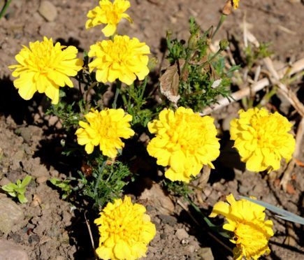 French marigolds in October