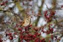 Redwing, Turdus iliacus,  on hawthorn berries.