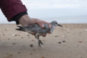 A knot is released after being processed by members of the Wash Wader Ringing Group.
