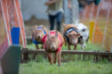 Pig racing in full flow at Blair Castle International Horse Trails.
