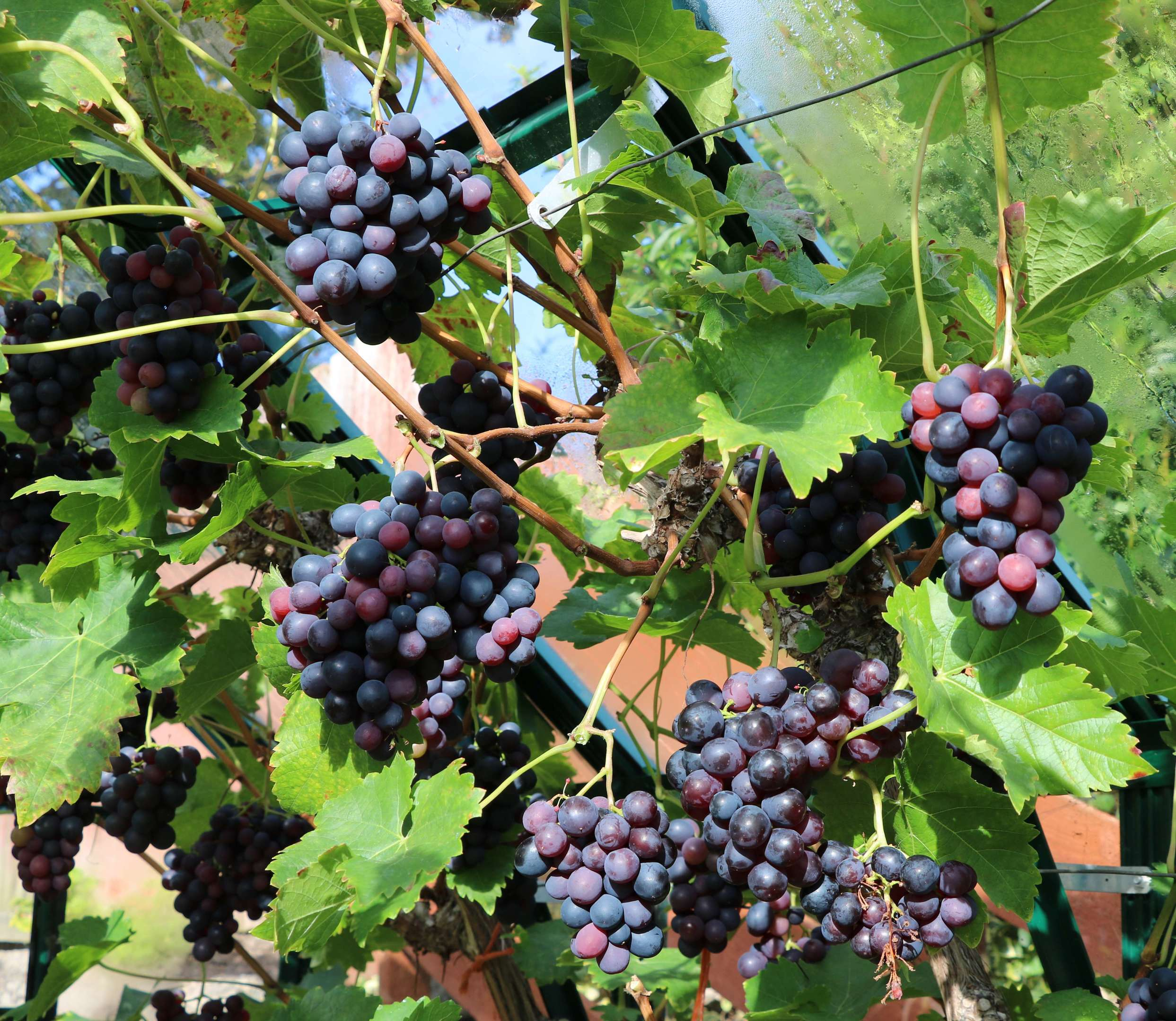 The challenge of grape growing - The Courier