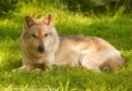 Luna the wolf has died at the Scottish Deer Centre, aged 12.