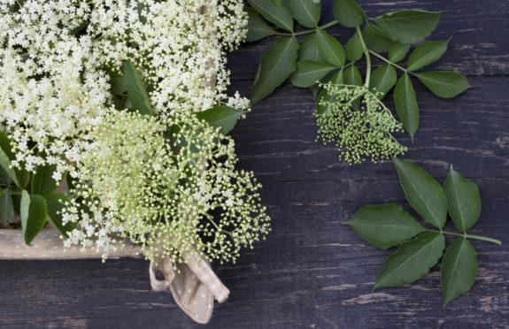 Elderflowers.