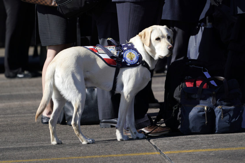 Sully, the Labrador retriever service dog of former President George H.W. Bush waits as joint services military honor guard carry the flag-draped casket of the remains of his master during a departure ceremony.