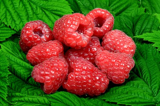 Glen Dee is one of the most recent raspberry varieties bred by the James Hutton Institute at Invergowrie.