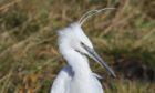 The little egret and its distinctive 'marigold' feet.