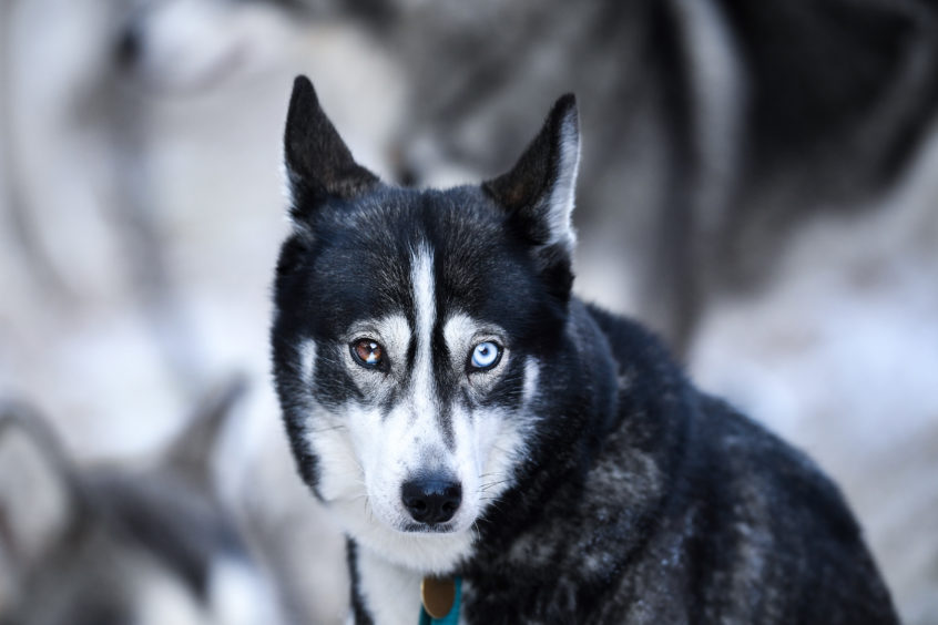 Huskies practice at a forest course ahead of the Aviemore Sled Dog Rally in Feshiebridge. Huskies and sledders prepare ahead of the Siberian Husky Club of Great Britain 36th race taking place at Loch Morlich this weekend near Aviemore.