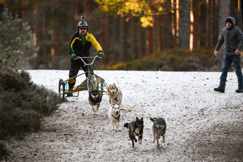 Mushers Ian Sinclair and his huskies practice at a forest course ahead of the Aviemore Sled Dog Rally in Feshiebridge.Huskies and sledders prepare ahead of the Siberian Husky Club of Great Britain 36th race taking place at Loch Morlich this weekend near Aviemore.