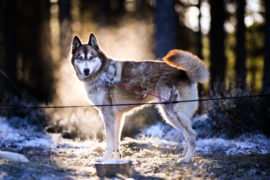 Huskies practice at a forest course ahead of the Aviemore Sled Dog Rally  in Feshiebridge, Scotland. Huskies and sledders prepare ahead of the Siberian Husky Club of Great Britain 36th race taking place at Loch Morlich this weekend near Aviemore.