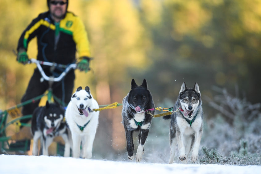 Mushers Ian Sinclair and his huskies practice at a forest course ahead of the Aviemore Sled Dog Rally on January 23, 2019 in Feshiebridge, Scotland. Huskies and sledders prepare ahead of the Siberian Husky Club of Great Britain 36th race taking place at Loch Morlich this weekend near Aviemore.