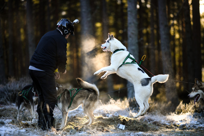 Mushers and their huskies practice at a forest course ahead of the Aviemore Sled Dog Rally on January 23, 2019 in Feshiebridge, Scotland. Huskies and sledders prepare ahead of the Siberian Husky Club of Great Britain 36th race taking place at Loch Morlich this weekend near Aviemore.