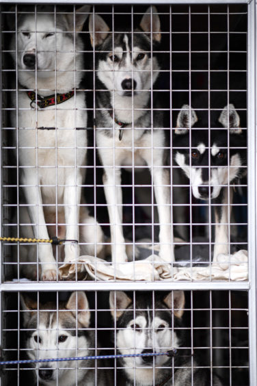 Huskies are seen in a cage as they practice at a forest course ahead of the Aviemore Sled Dog Rally on January 23, 2019 in Feshiebridge, Scotland.