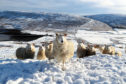 Sheep grazing in a field near Tingwall on the Shetland Islands after recent snowfall.