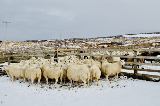 Joyce Campbell regularly updates Twitter and Facebook with images of her flock.