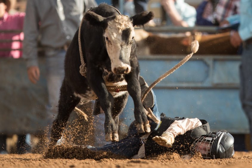 A rider falls from his mount as he competes in the junior steer ride during the Mudgee Show Rodeo in Mudgee, Australia.