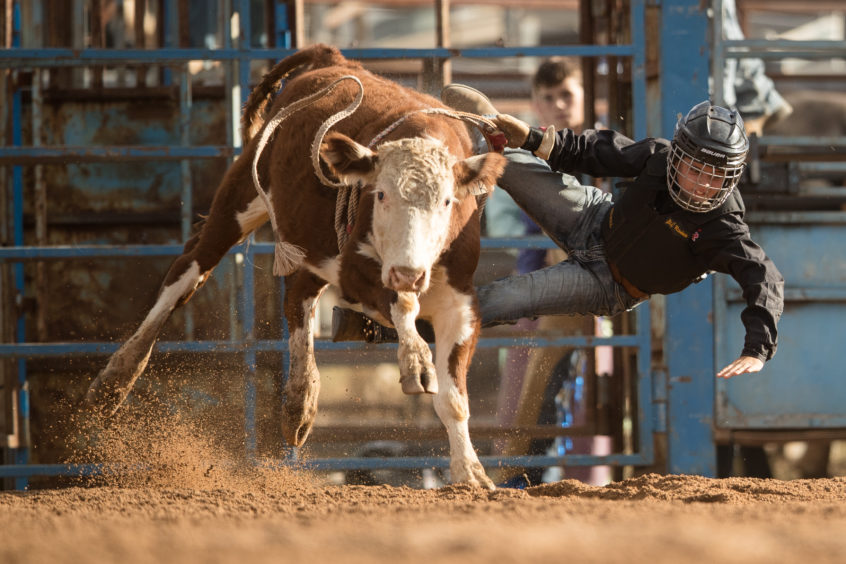 Cooper Favero falls from his mount as he competes in the junior steer ride during the Mudgee Show Rodeo in Mudgee, Australia.