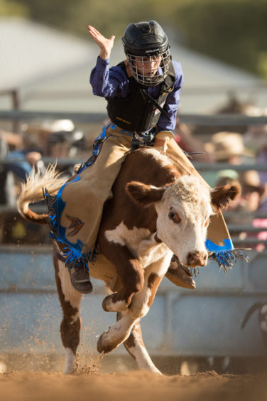 MUDGEE, AUSTRALIA - MARCH 01: A rider holds on to his mount as he competes in the junior steer ride during the Mudgee Show Rodeo in Mudgee, Australia.