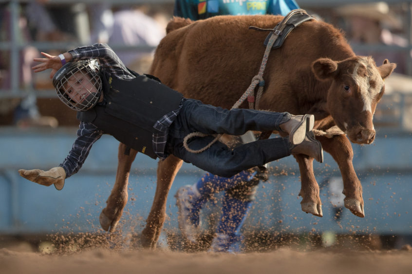 A rider falls from his mount as he competes in the junior steer ride during the Mudgee Show Rodeo n Mudgee, Australia.