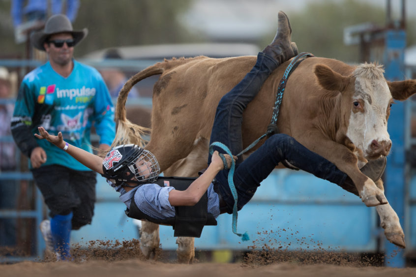 MUDGEE, AUSTRALIA - MARCH 01: A rider falls from his mount as he competes in the junior steer ride during the Mudgee Show Rodeo in Mudgee, Australia.