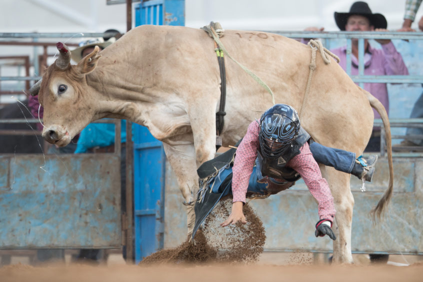 MUDGEE, AUSTRALIA - MARCH 01: A rider falls from his mount as he competes in the bull ride during the Mudgee Show Rodeo n Mudgee, Australia.