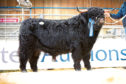 Muran Erchie of Ardbhan sold for 11,000gn at the Highland Cattle Society show and sale in Oban.