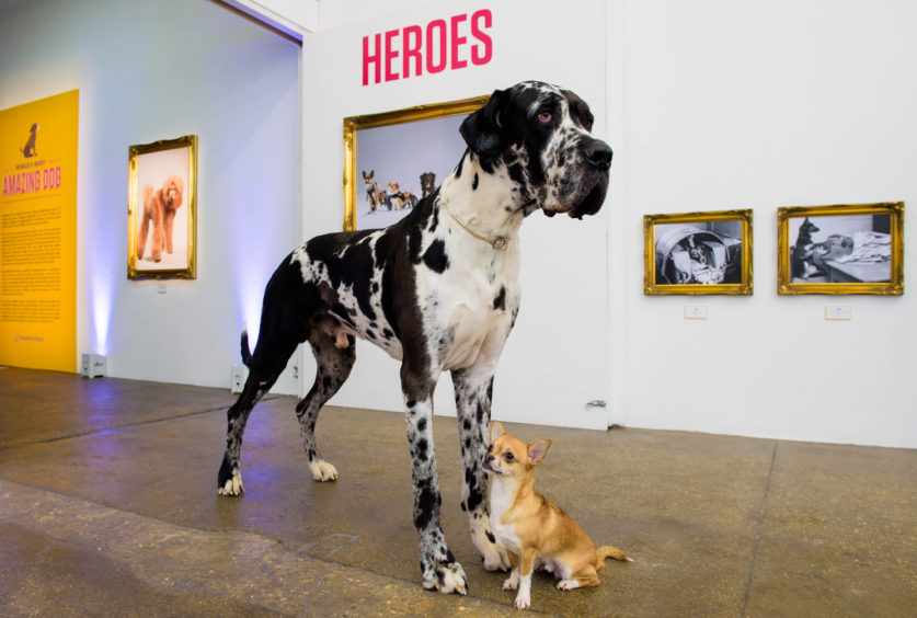Great Dane, Frasier and Chihuahua, Manuel attend the launch.